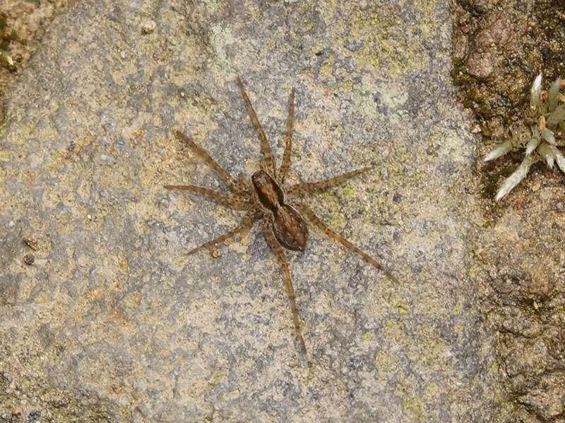 Unbestimmte Spinnenart Nr. 49; Foto: 25.12.2017, Wanderweg zum Condor-Machay-Wasserfall