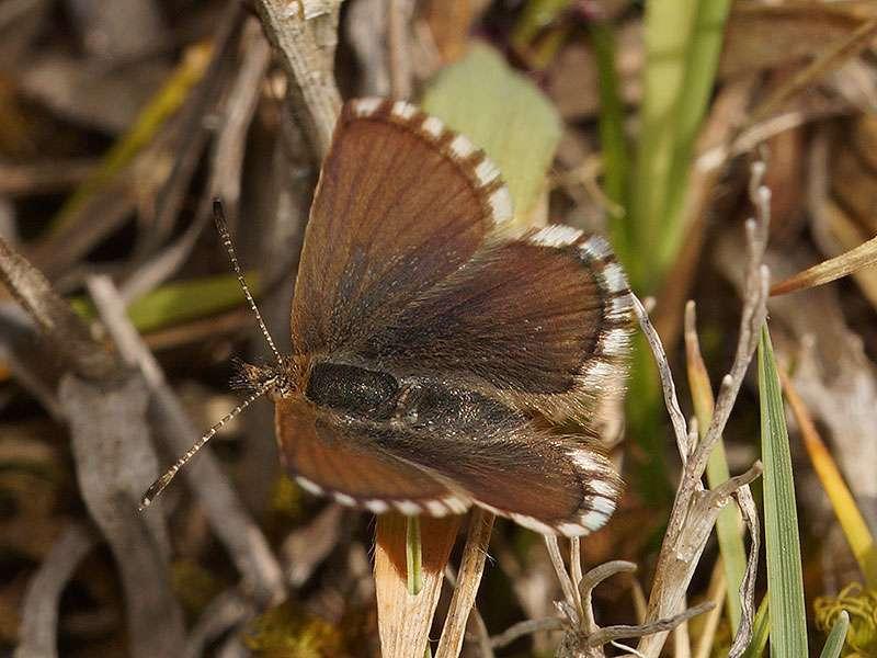 Paralycaeides vapa; Foto: 26.12.2017, Cotopaxi-Nationalpark