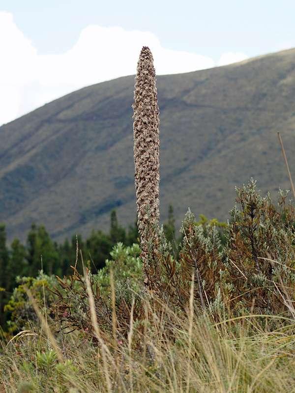 Puya hamata; Foto: 26.12.2017, Cotopaxi-Nationalpark