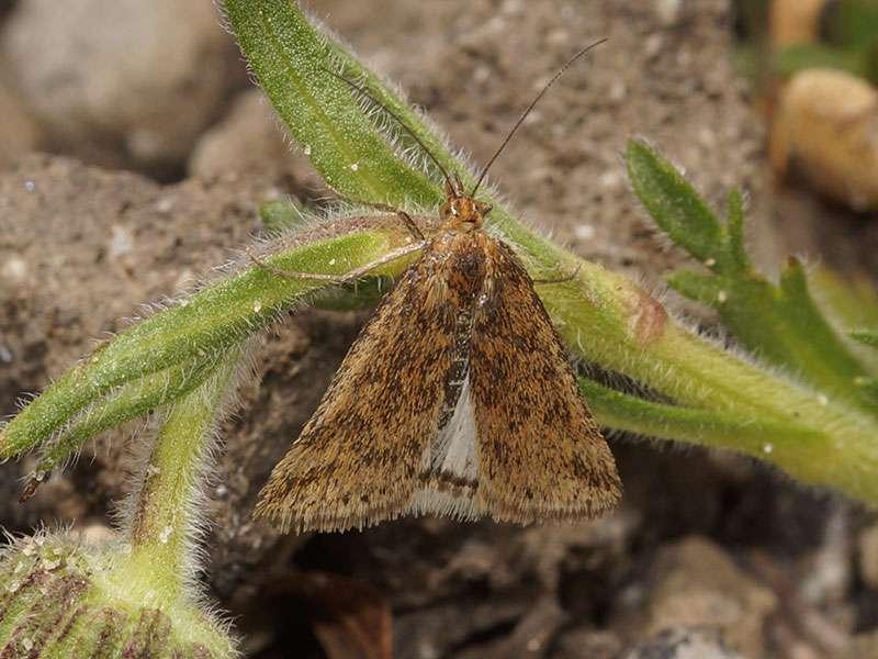 Unbestimmte Schmetterlingsart Nr. 301; Foto: 26.12.2017, Cotopaxi-Nationalpark