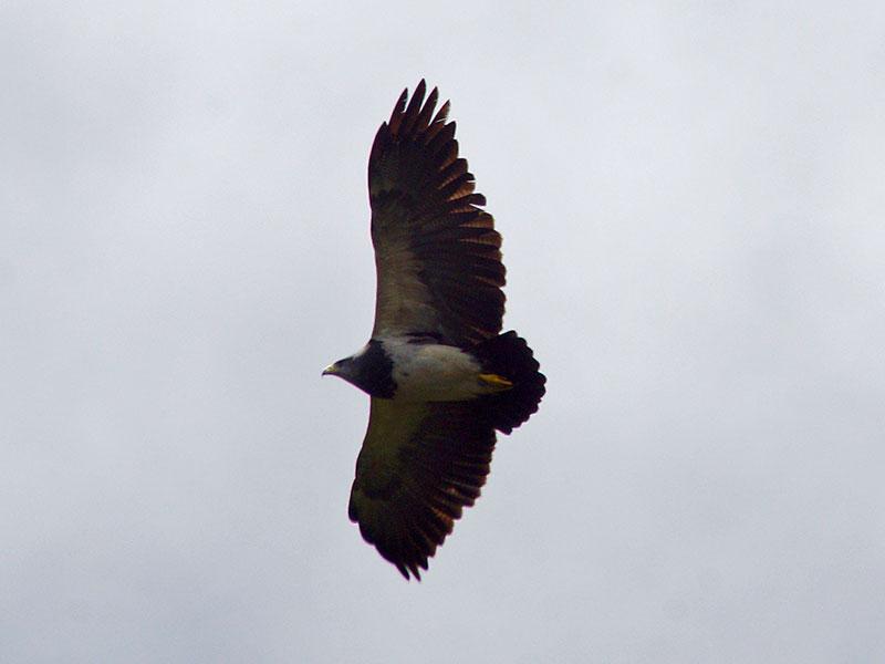 Agula (Black-chested Buzzard-eagle, Geranoaetus melanoleucus); Foto: 26.12.2017, Cotopaxi-Nationalpark