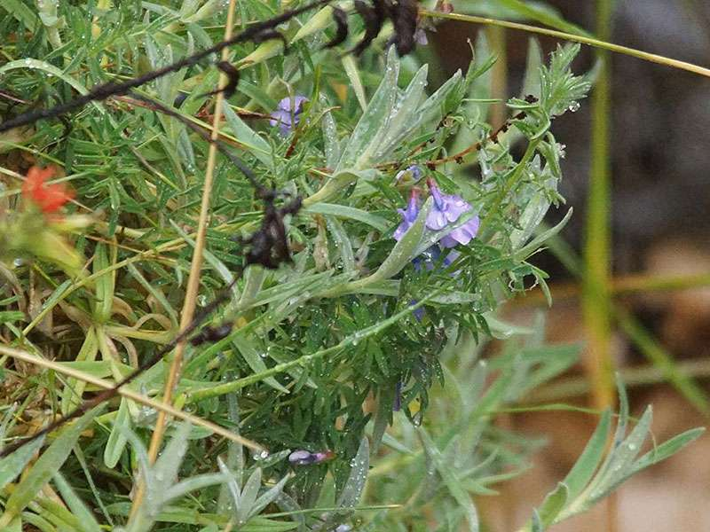 Unbestimmte Pflanzenart Nr. 51; Foto: 27.12.2017, Reserva de Producción de Fauna Chimborazo