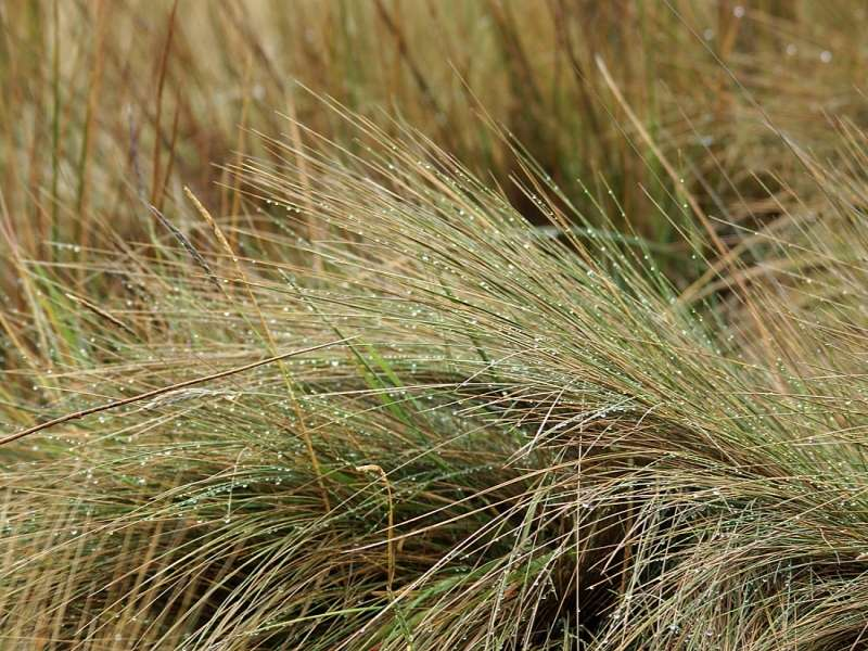 Jarava ichu (Peruvian Feathergrass); Foto: 27.12.2017, Reserva de Producción de Fauna Chimborazo
