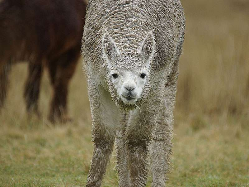Lama (Llama,Lama glama); Foto: 27.12.2017, Reserva de Producción de Fauna Chimborazo