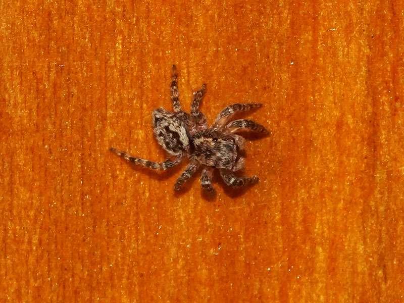 Unbestimmte Spinnenart Nr. 51 (Salticidae); Foto: 28.12.2017, Hostería Sommergarten, Sangolquí