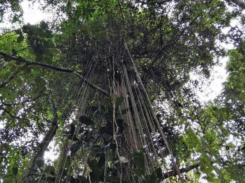 Rund um die Cabañas San Isidro Lodge finden sich hohe Bäume, in denen Lianen hängen; Foto: 08.12.2017, Nähe Cosanga
