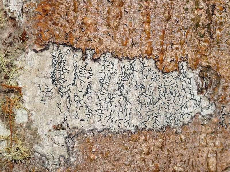 Flechten und faszinierende Muster unter abgelöster Baumrinde sind einige der 'Kleinigkeiten', auf die man bei Spaziergängen achten sollte; Foto: 07.12.2017, Nähe Cosanga