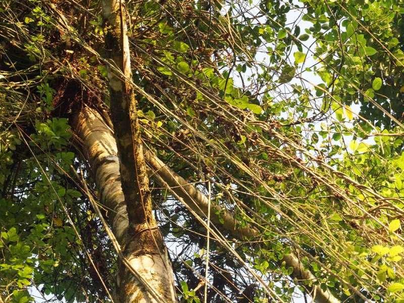 In den Bäumen auf dem Gelände der Hakuna Matata Amazon Lodge hängen viele Lianen; Foto: 10.12.2017