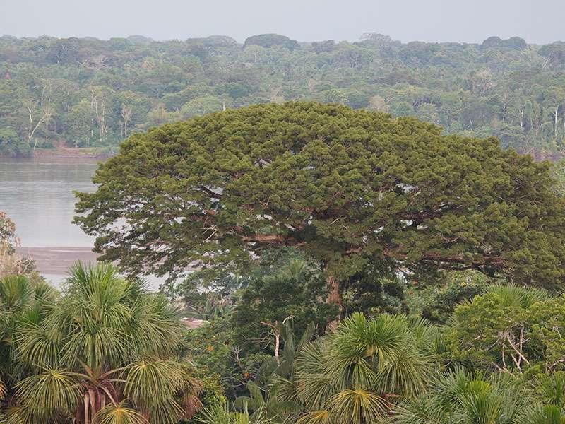 Regenwaldriese am Ufer des Río Napo vom Beobachtungsturm aus gesehen; Foto: 11.12.2017, Napo Cultural Center