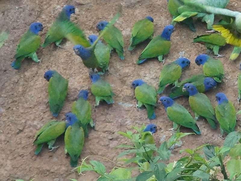Schwarzohrpapagei (Blue-headed Parrot, Pionus menstruus); Foto: 14.12.2017, Nähe Napo Wildlife Center