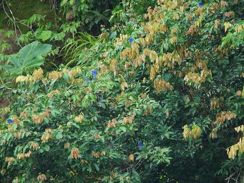 Wie blaue Blumen schmücken die Schwarzohrpapageien die Bäume an der Lehmlecke in der Nähe des Napo Wildlife Center; Foto: 14.12.2017