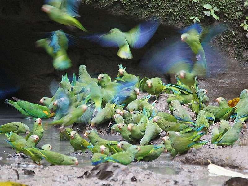 Kobaltflügelsittich (Cobalt-winged Parakeet, Brotogeris cyanoptera); Foto: 14.12.2017, Nähe Napo Wildlife Center