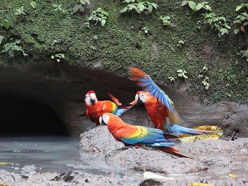 Hellroter Ara (Scarlet Macaw, Ara macao); Foto: 14.12.2017, Nähe Napo Wildlife Center