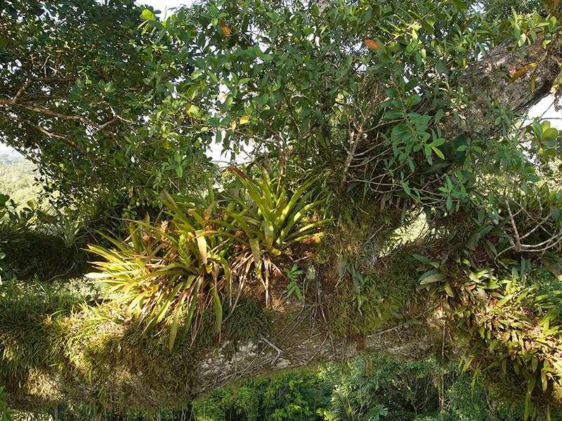 In der Baumkrone des Kapokbaums, in dem sich der Beobachtungsturm befindet, wachsen allerlei Bromelien und Orchidee; Die Aussicht vom Beobachtungsturm der Sacha Lodge ist atemberaubend; Foto: 16.12.2017