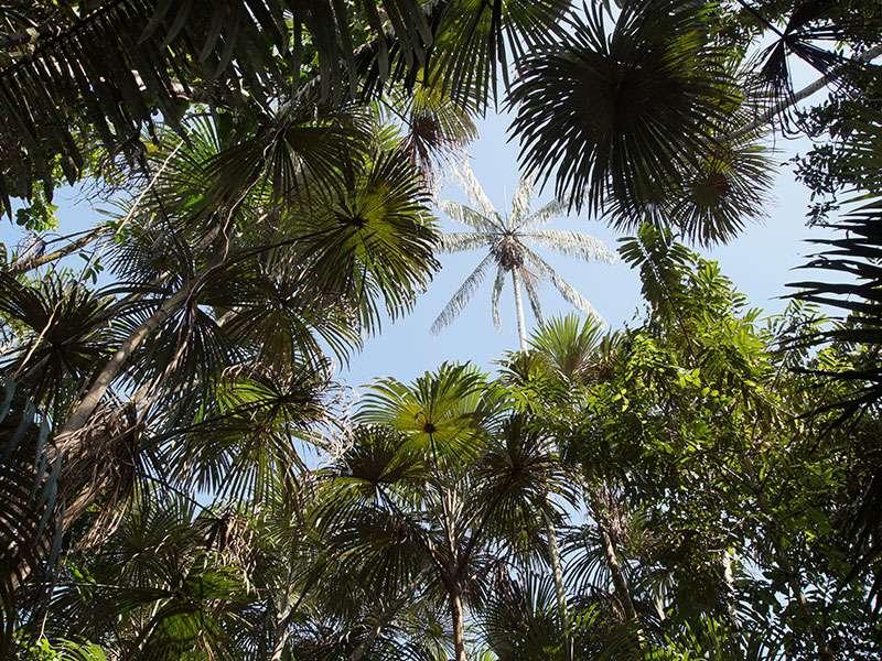 Verschiedene Palmenarten und andere Bäume wachsen rund um die Sacha Lodge; Foto: 17.12.2017