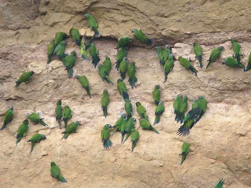 Weddell-Sittich (Dusky-headed Parakeet, Aratinga weddellii); Foto: 17.12.2017, Nähe Napo Wildlife Center