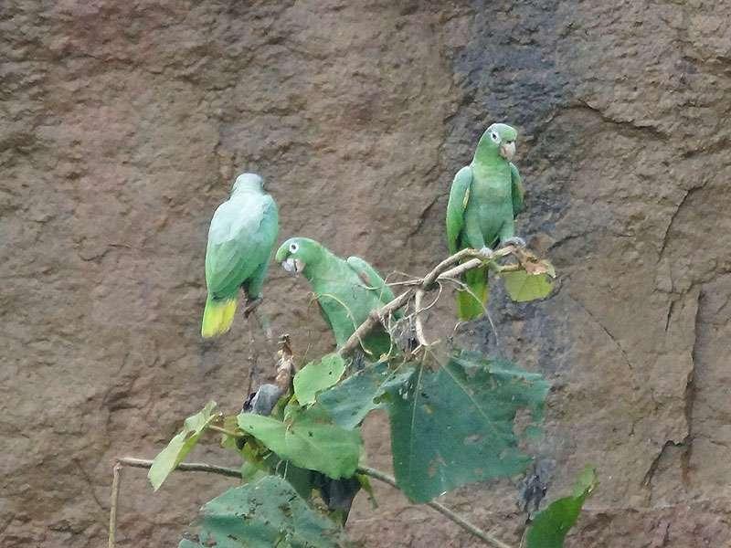 Müller-Amazone (Mealy Parrot, Amazona farinosa); 17.12.2017, Nähe Napo Wildlife Center