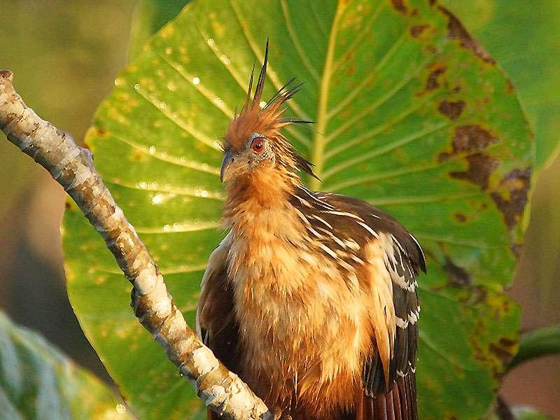 Der Hoatzin (Opisthocomus hoazin) gehört zu den vielen Vogelarten, die man rund um die Sacha Lodge beobachten kann; Foto: 18.12.2017
