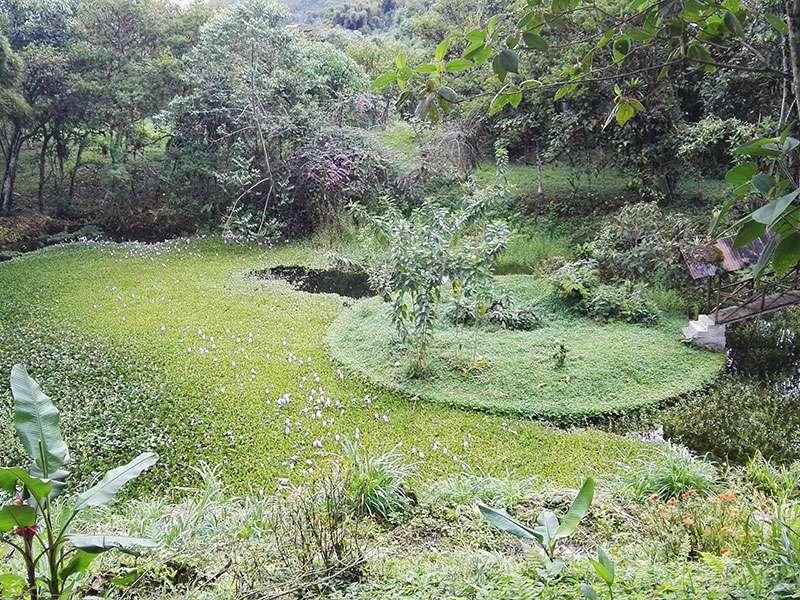 Auf dem Gelände der Yellow House Lodge gibt es ein Gewässer mit Dickstielige Wasserhyazinthen (Eichhornia crassipes); Foto: 22.12.2017, Mindo