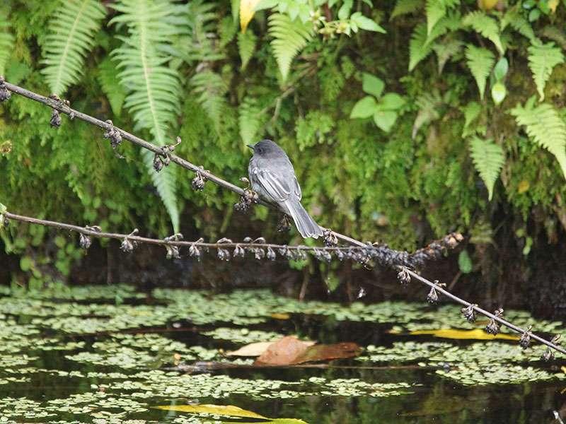 Schwarzkopf-Phoebetyrann (Sayornis nigricans) an einem Teich auf dem Gelände der Yellow House Lodge; Foto: 22.12.2017, Mindo