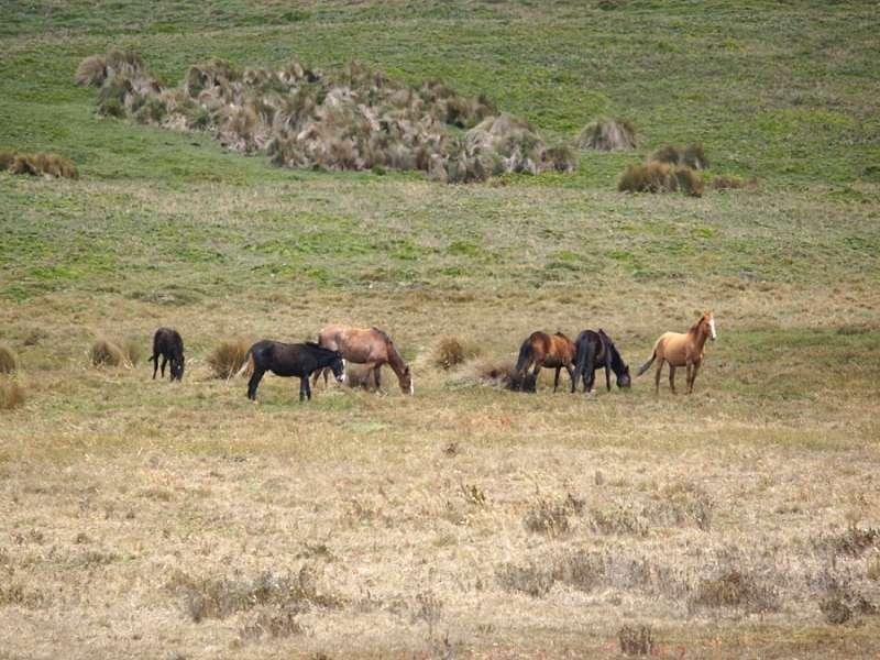 In dem Schutzgebiet am Antisana-Vulkan leben verwilderte Pferde; Foto: 24.12.2017, Reserva Ecológica Antisana