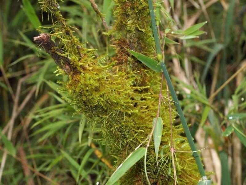 Die vielen Pflanzen in der Schlucht sind an sich schon faszinierend, aber auch die verschiedenen Moosarten sind interessant; Foto: 25.12.2017, Wanderweg zum Condor-Machay-Wasserfall