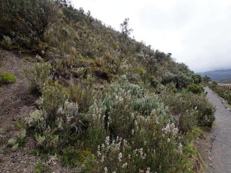 Neben dem Wanderweg an der Laguna de Limpiopungo wachsen viele für das Gebiet typische Pflanzen; Foto: 26.12.2017, Cotopaxi-Nationalpark