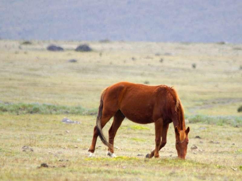 Unweit der Laguna de Limpiopungo grasendes verwildertes Pferd; Foto: 26.12.2017, Cotopaxi-Nationalpark