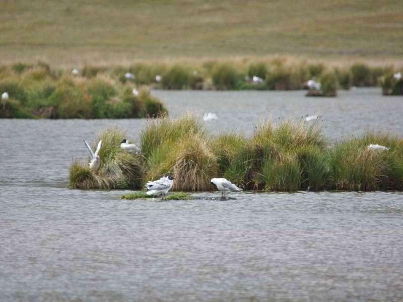 Andenmöwen gehören zu den Brutvögeln an der Laguna de Limpiopungo; Foto: 26.12.2017, Cotopaxi-Nationalpark