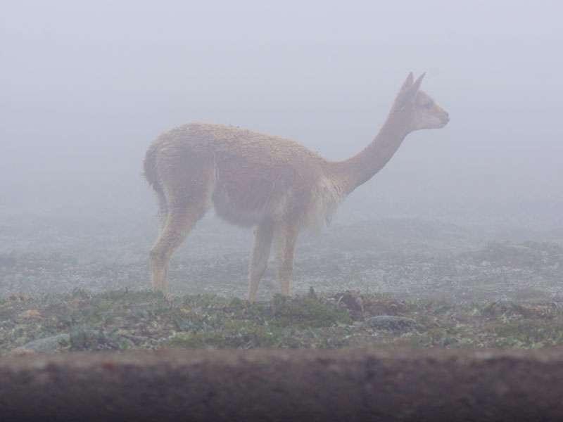 Vikunja in tief hängenden Wolken; Foto: 27.12.2017, Foto: 27.12.2017, Reserva de Producción de Fauna Chimborazo