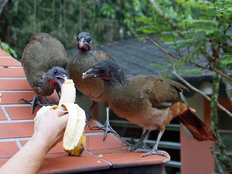 Die auf dem Gelände lebenden Rotschwanzguane (Ortalis ruficauda) freuen sich immer über Bananen; Foto: 16.04.2013, Nähe Bejuma