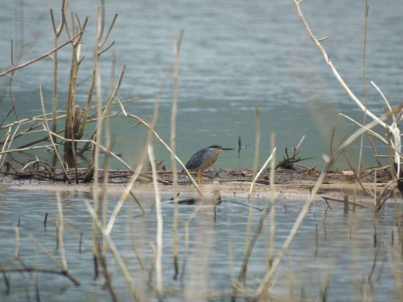 Zwischen abgestorbener Vegetation verstecken sich am Ufer oft Vögel wie dieser Mangrovereiher (Butorides striata); Foto: 18.04.2013, Nähe Canoabo