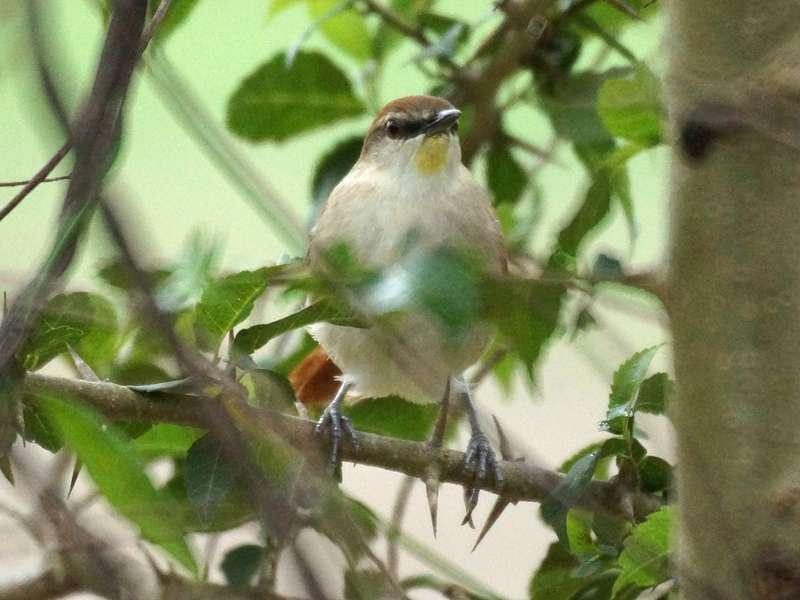 Gelbkinn-Riedschlüpfer (Certhiaxis cinnamomeus); Foto: 18.04.2013, Nähe Canoabo