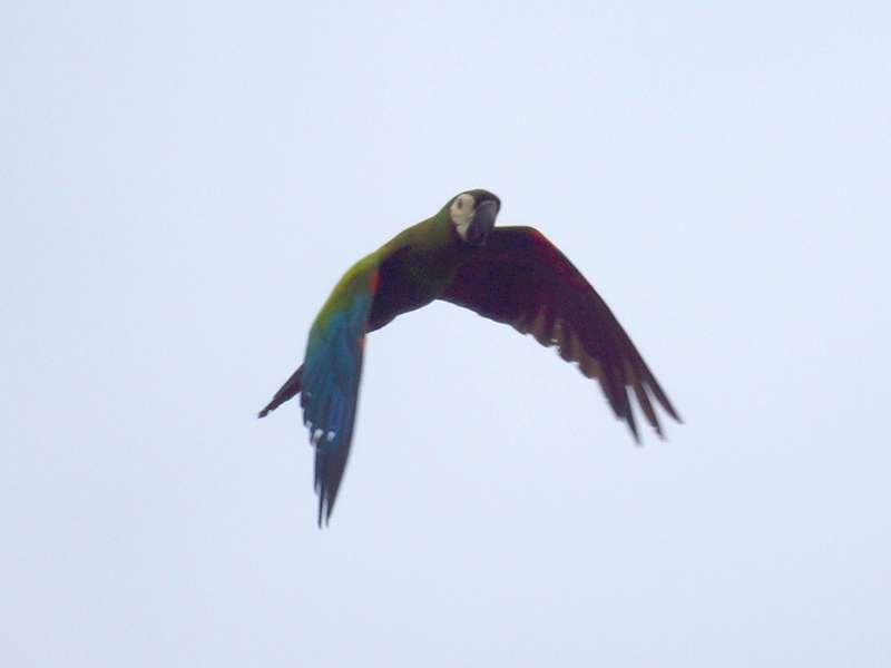 Ein Rotbugara (Ara severus) überfliegt das Sumpfgebiet; Foto: 21.04.2013, Nähe San Pablo