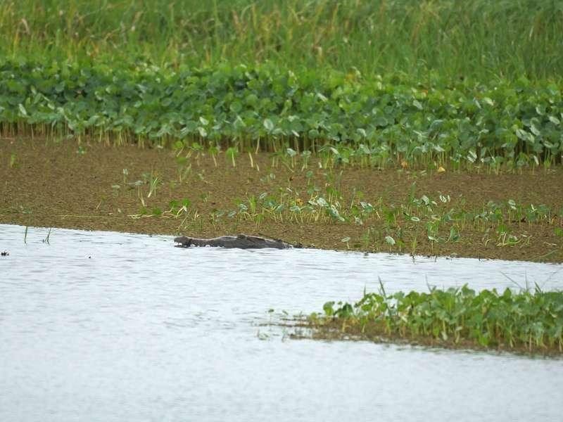 Kein Baumstamm, sondern ein Spitzkrokodil (Crocodylus acutus) liegt dort im Wasser; Foto: 21.04.2013, Nähe San Pablo