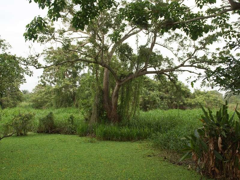 Mit Schwimmpflanzen bedeckter Tümpel unter großem Baum; Foto: 21.04.2013, Nähe San Pablo