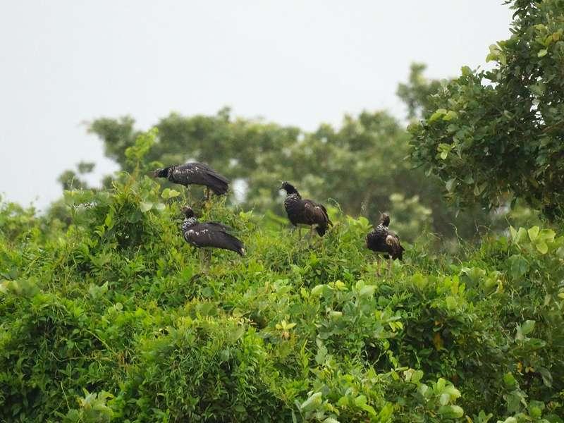 Eine Gruppe Hornwehrvögel (Anhima cornuta) auf einem Busch; Foto: 21.04.2013, Nähe San Pablo