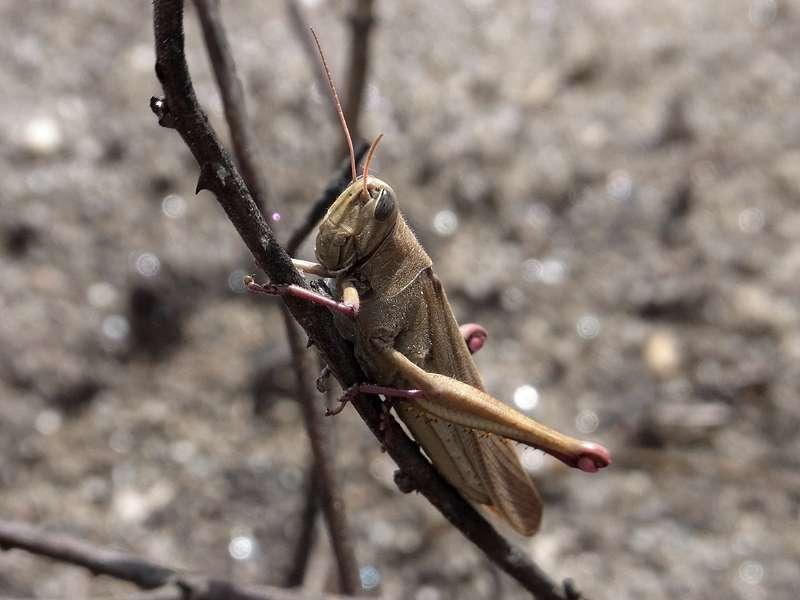Unbestimmte Kurzfühlerschrecke Nr. 2 am Cerro San Isidro; Foto: 22.04.2013, Nähe Montalbán