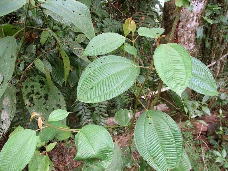 Mit ihren verlängerten Spitzen leiten diese Blätter den Regen ab; Foto: 22.04.2013, Nähe Montalbán