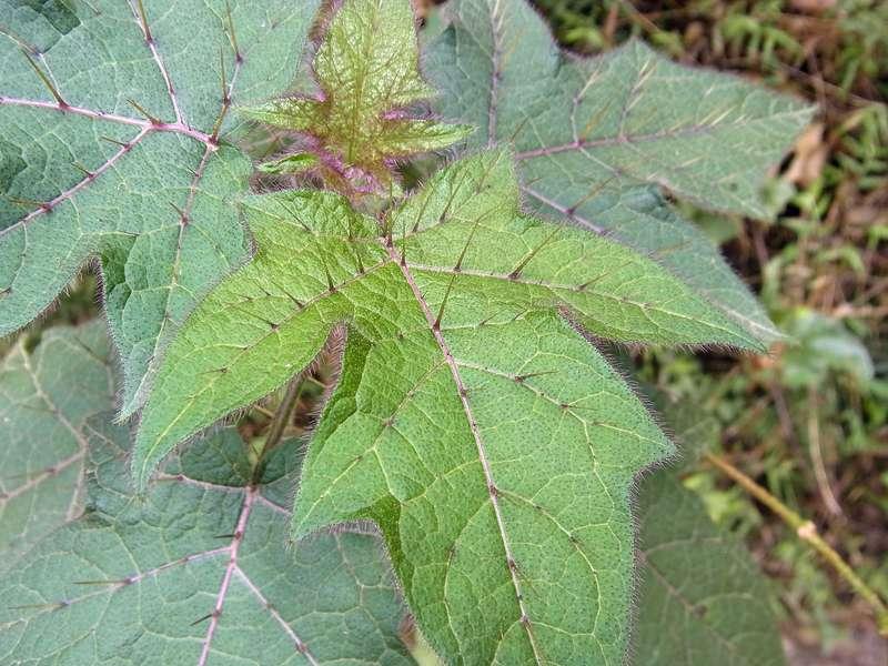 Mit Haaren und Stacheln schützen sich diese Blätter vor gefräßigen Tieren; Foto: 22.04.2013, Nähe Montalbán