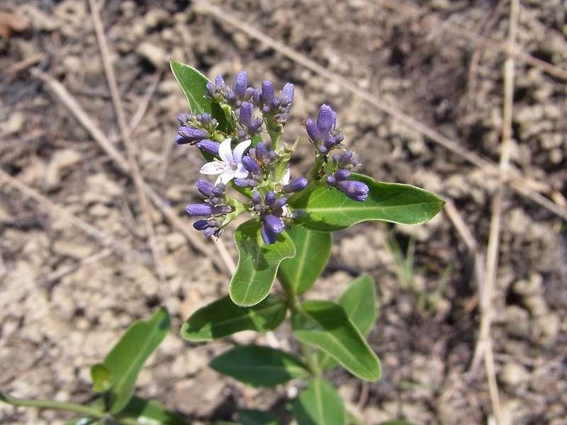 Eine der zierlichen Pflanzen, die in der überwiegend kahlen Gipfelregion blühen; Foto: 22.04.2013, Nähe Montalbán