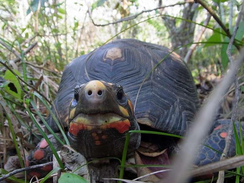 Köhlerschildkröten (Chelonoidis carbonaria) durchstreifen das große Gelände der Casa Maria; Foto: 22.04.2013, Nähe Bejuma